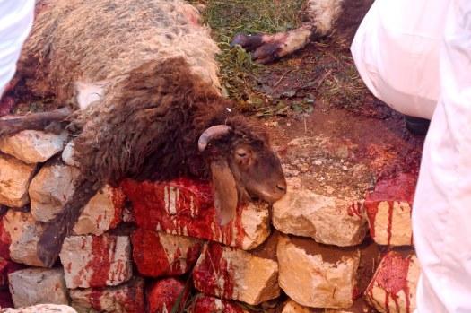Samaritan Passover, slain lamb, tb041106749